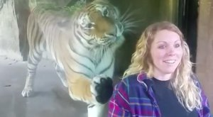 Irtó cuki, mennyire rákattant a tigris a terhes nőre
