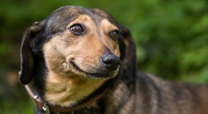 Ilyen egy önelégült kutya feje
