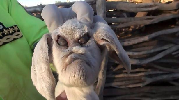 Az újszülött kecske úgy sokkolta a helyieket, hogy ráhívták a rendőröket – videó
