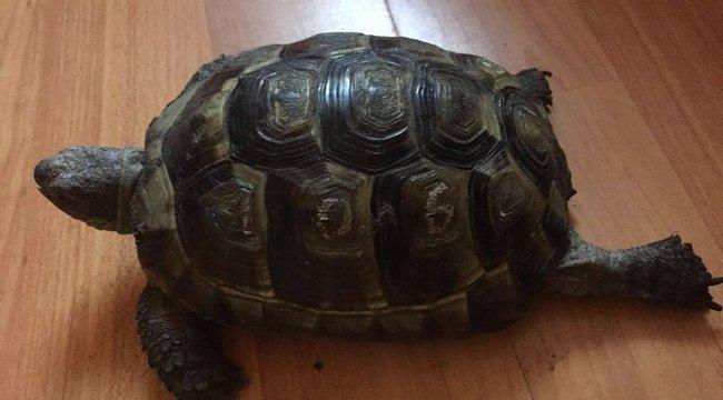 Hat hét után megkerült Lilike, a félvak teknős