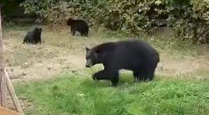 Ilyen udvariasan rég nem kergettek már el medvéket - videó
