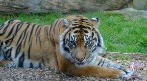 Két fehér tigris tépett szét egy gondozót