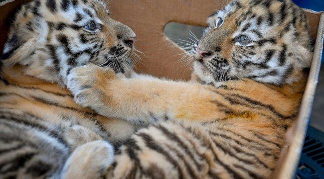 Iker tigriskölykökDebrecen új sztárjai
