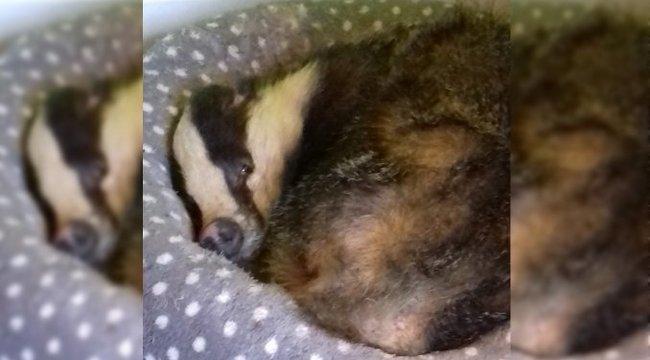 Ellopta az ételét, majd elaludt az ágyában. Egy borz. Egy macskáét