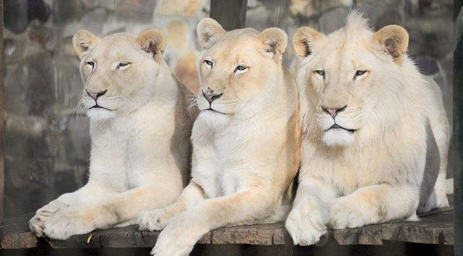 Új otthonukban a nyírségi fehér oroszlánok