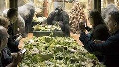 Nem mindennapi program: sztárokkal reggeliztek a gorillák