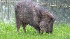 Igen ritka Chaco-pekarik születtek a prágai állatkertben