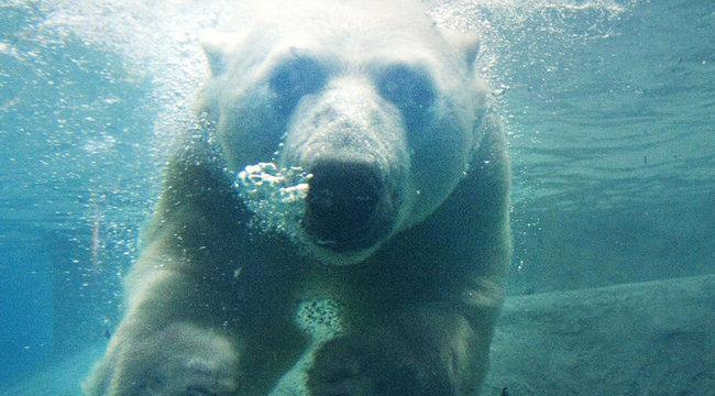 Beárazták a jegesmedvéket