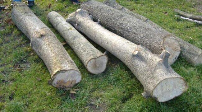 Egy fa ölt Mogyoródon