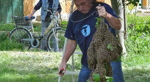 Közterekre költöznek a hajléktalan méhek