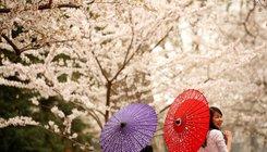 Cseresznyevirágzás Washingtonban