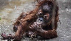 Orangután a Drezdai Állatkertben