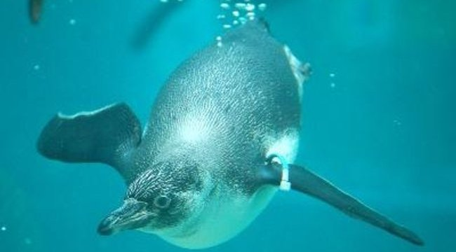 Vízbolondok a pingvinkölykök