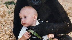 Tizenkét év után is felismerte a gorilla