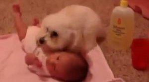 Cukiság: így még kutya nem védett kisbabát! - videó