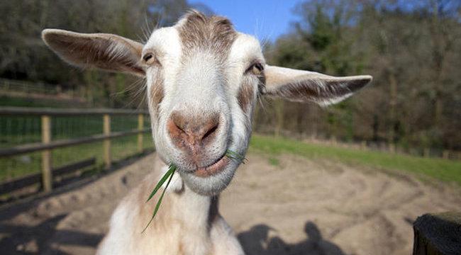 Nőstény kecskét rendeltek legénybúcsúra a magyar szállodában