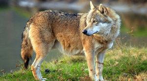 Hatalmas farkas kószál a magyar falu főutcáján