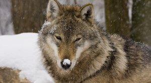 Közvetlen életveszély a szökött pécsi farkas miatt