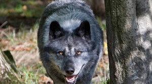 Szomorú vég: kilőtték a szökött farkast