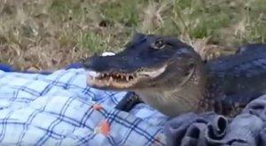 Szendviccsel szolgálta ki magát a huncut aligátor