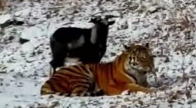 Nézze meg, hogyan lett vacsorából barát a kecske - videó