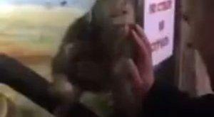 Emberekre maszturbált az állatkerti majom