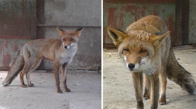 Megható: haza akart szökni Matyi, a róka