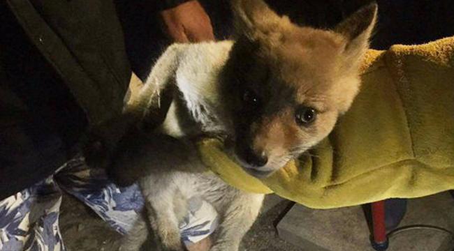 Így mentették ki a Pestre tévedt rókakölyköt - videó