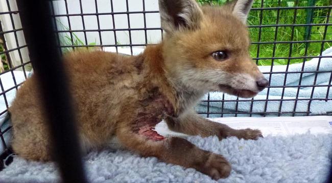 Műanyag palack gyilkolt meg egy rókakölyköt