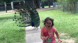 Páva elől menekülő kislány az internet új sztárja – képek