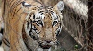 Megölte gondozóját egy tigris