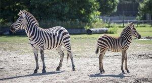 Cukiság – Zebracsikók születtek Veszprémben - fotók!