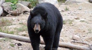 Hihetetlen! Megütött egy 145 kilós medvét, majd továbbsétált a 61 éves férfi