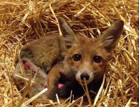 Túléli a sérüléseit a megcsonkított rókakölyök – képek