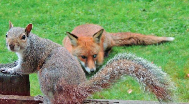 Róka elől menekült, ezért kopogtatott az ablakon a mókus