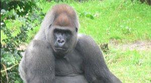Nem vicc: az amerikaiak 5 százaléka egy halott gorillára szavazna