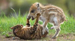 Cuki: nézze, mi a kis vaddisznókölyök legjobb barátja!