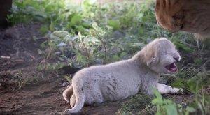 Cuki! Fehér oroszlán született Nyíregyházán – videó