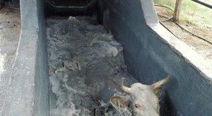 Horror: malacokat és csirkéket forráznak le élve a vágóhídon