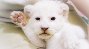 Pótmamát kapott a cuki nyíregyházi oroszlán