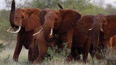 Döbbenetes, amit most az elefántokkal csinálnak