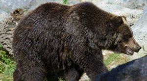 Órákig mászkált egy eltévedt medve Nagyszeben központjában, lelőtték