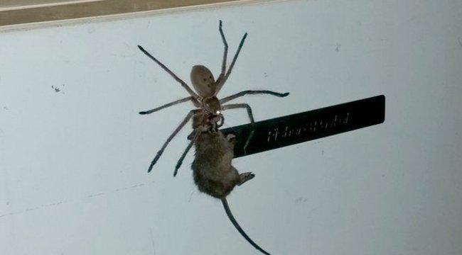 Nem fél a pókoktól? Most már fog!
