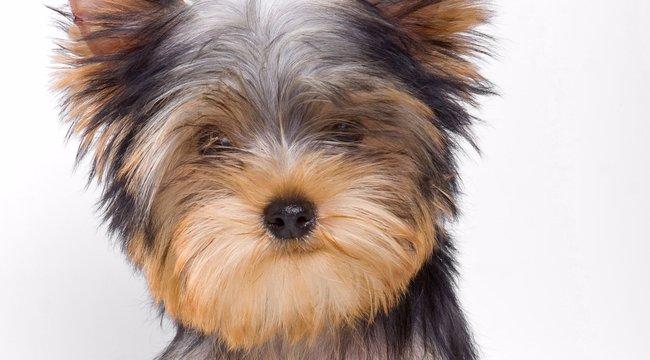 Fésűvel végzett a tatabányai kutyakozmetikus a yorkival