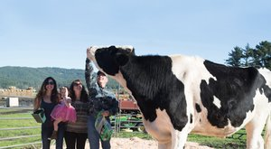 Sokat fogyaszt a világ legnagyobb tehene