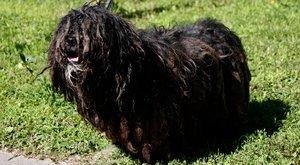 Állatvédők:Rángatta az orvos az elütött pulit