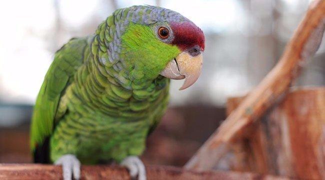 Csavargó papagáj a budapesti suli sztárja