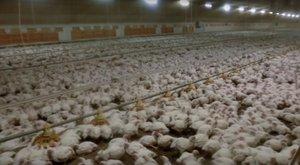 A poklot is megjárják a csirkék, mielőtt levágnák őket – videó