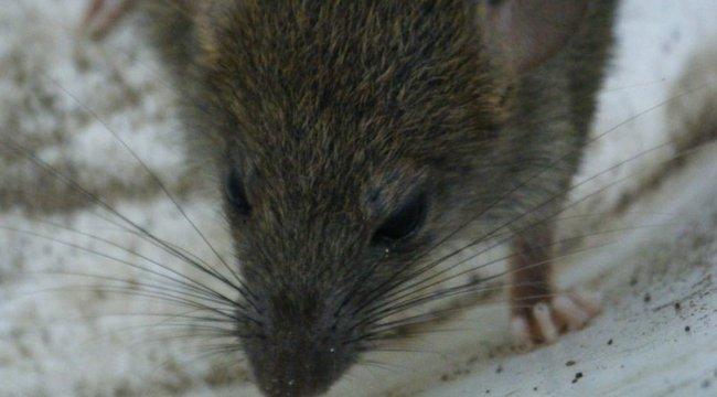 Horror: patkányok marták halálra a felelőtlen anya gyerekét