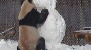 Ennél cukibb idén nem lesz: panda harcol egy hóemberrel